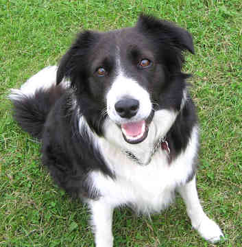 border collie, Faithful Dog, loyal friend