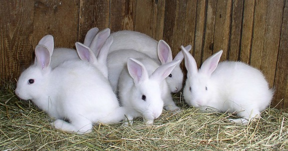 Rabbits, Fibonacci Sequence, math equation